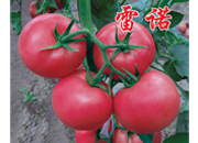 秋延番茄种子