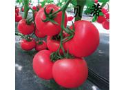 越冬番茄种子