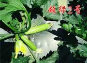 耐热西葫芦-超绿2号